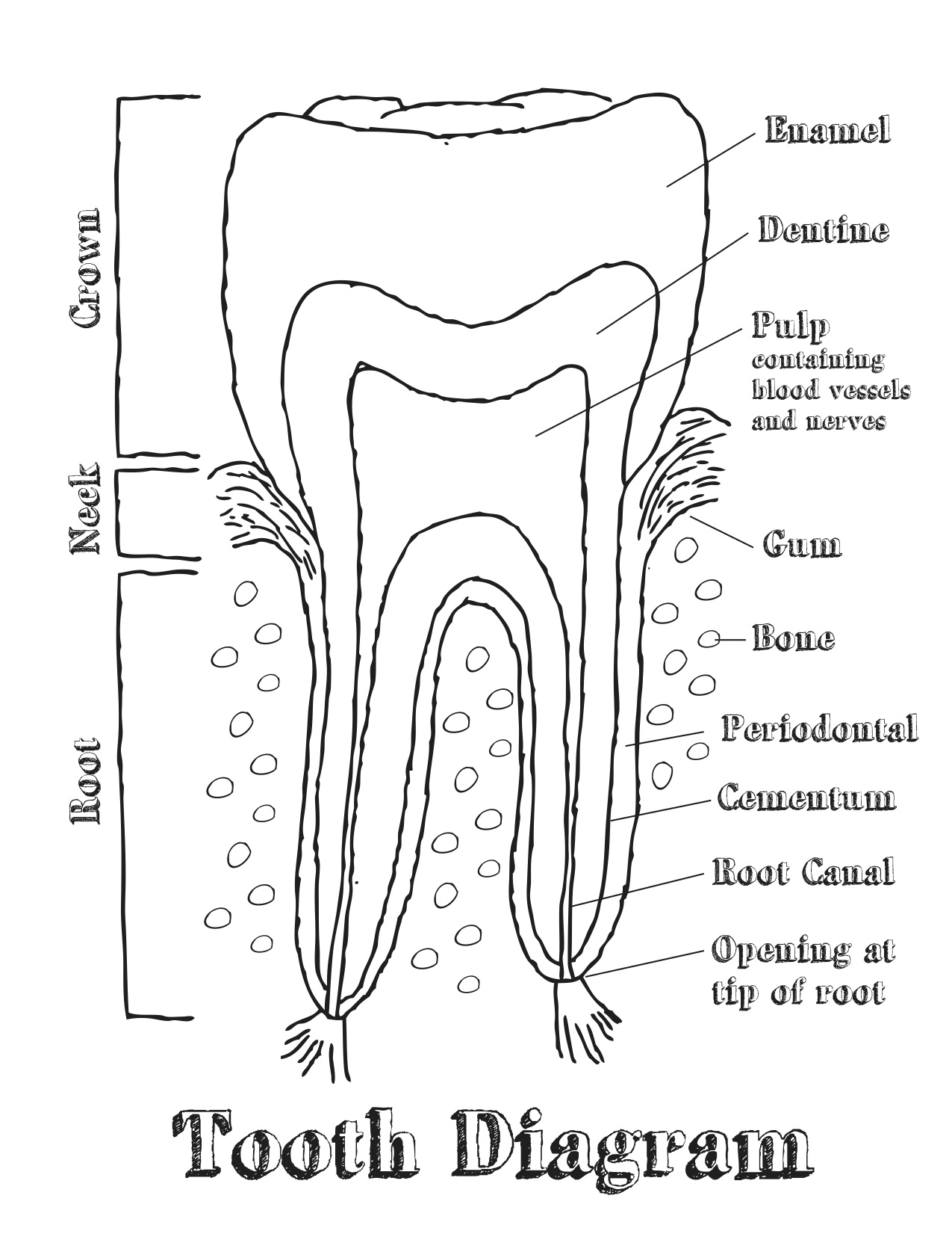 diagram of a tooth  diagram  free engine image for user